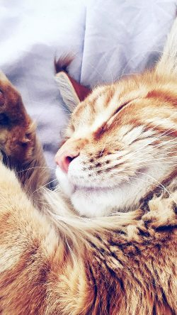 papers.co nf64 cat nap sleeping animal cute orange blue 33 iphone6 wallpaper 250x444 - Tapety pro iPhone ke stažení (10. 7. 2019)