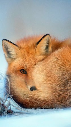 papers.co nm08 fox cold winter red nature animal 33 iphone6 wallpaper 250x444 - Tapety pro iPhone ke stažení (10. 7. 2019)