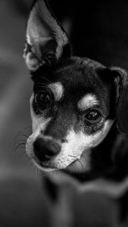 papers.co od00 nature dog bw dark cute animal 33 iphone6 wallpaper 250x444 - Tapety pro iPhone ke stažení (7. 8. 2019)